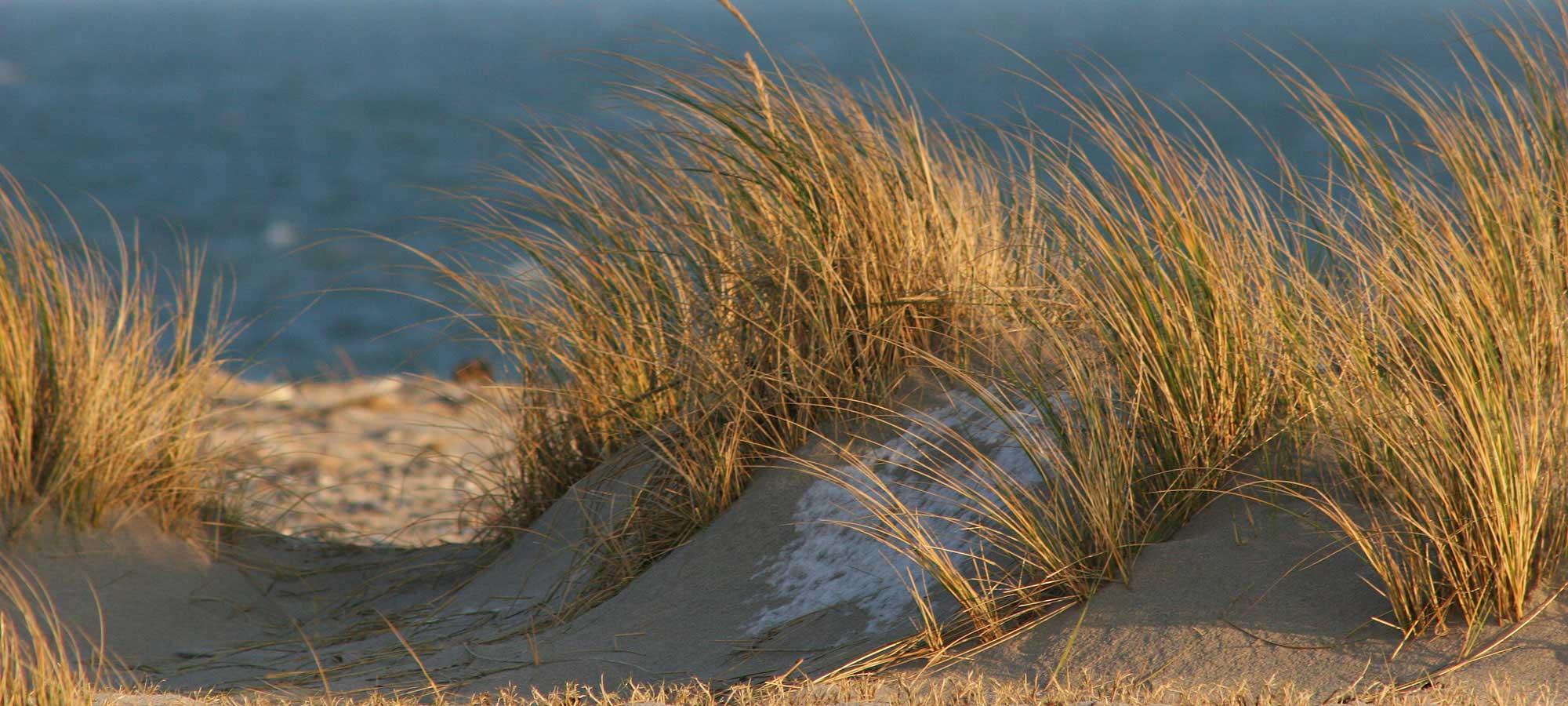 Helgoland Düne Strandhafer
